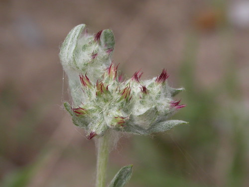 Red-tipped Cudweed | by DarrenU