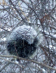 porcupine in a blizzard | by Dave Bonta