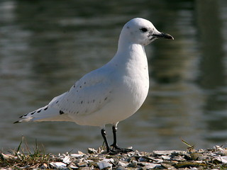 Ivory Gull Portrait 20091208 | by Kenneth Cole Schneider