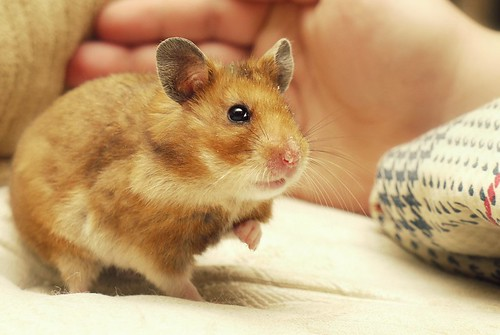 Hammy the New Year's miracle hamster | by Sara Zambo