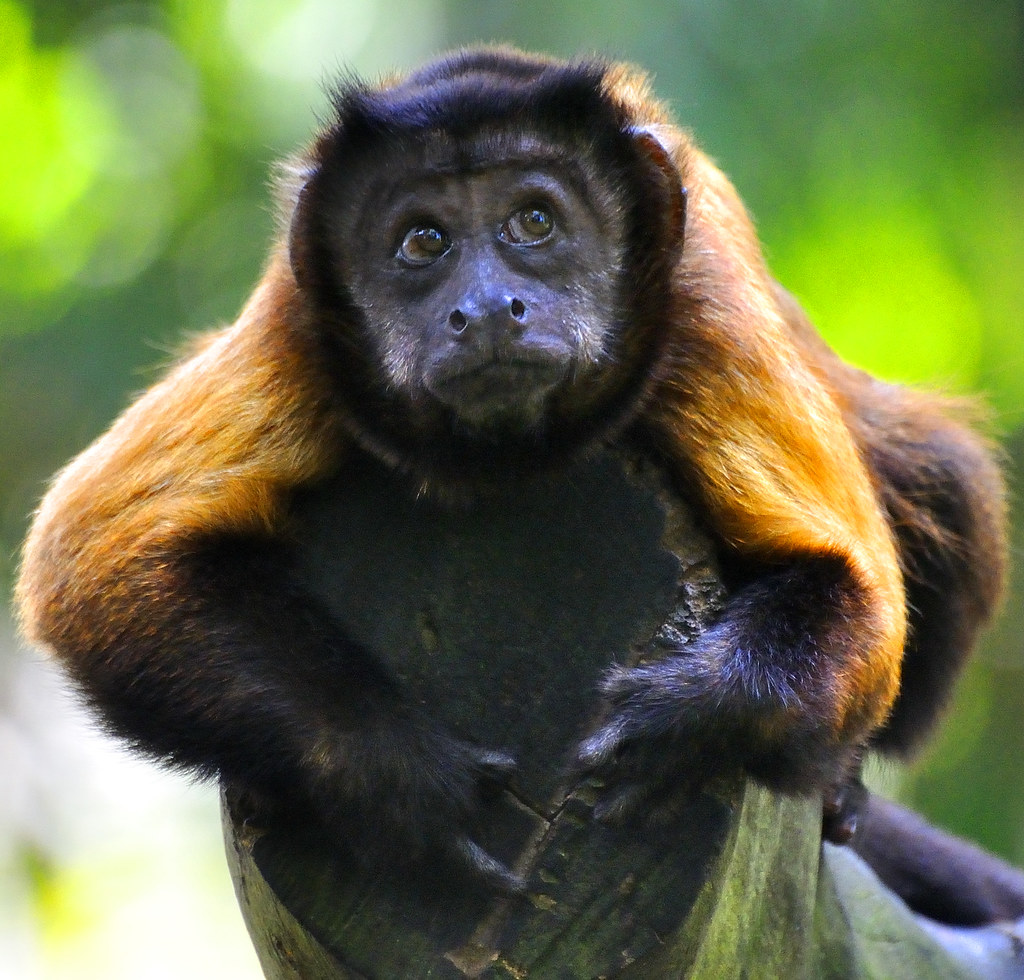 brown tufted capuchin Wild bearded capuchin monkeys (sapajus libidinosus) use stone tools to   usually grey to brown in colour and when successfully struck crack open to   ottoni, e b & mannu, m semifree-ranging tufted capuchins (cebus.