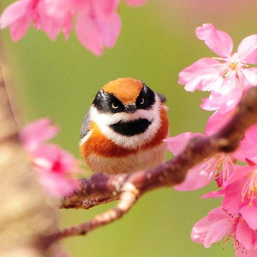 Blossom loving Zorro | by Mirror_Lake