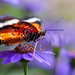 Lacewing on Purple