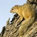Tree Squirrel - Paraxerus cepapi