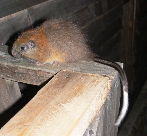 Red-crested Tree rat rediscovery after 113 years - bizare monotypic genus from El Dorado Nature Reserve | by ProAves Colombia
