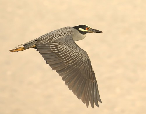 Night Crown Heron | by a walk on the wild side nature photography