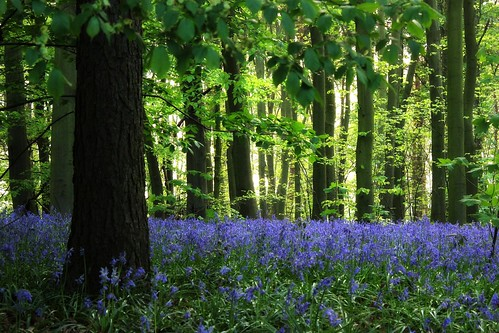 Bluebells in Sherwood Forest | by Hopeisland