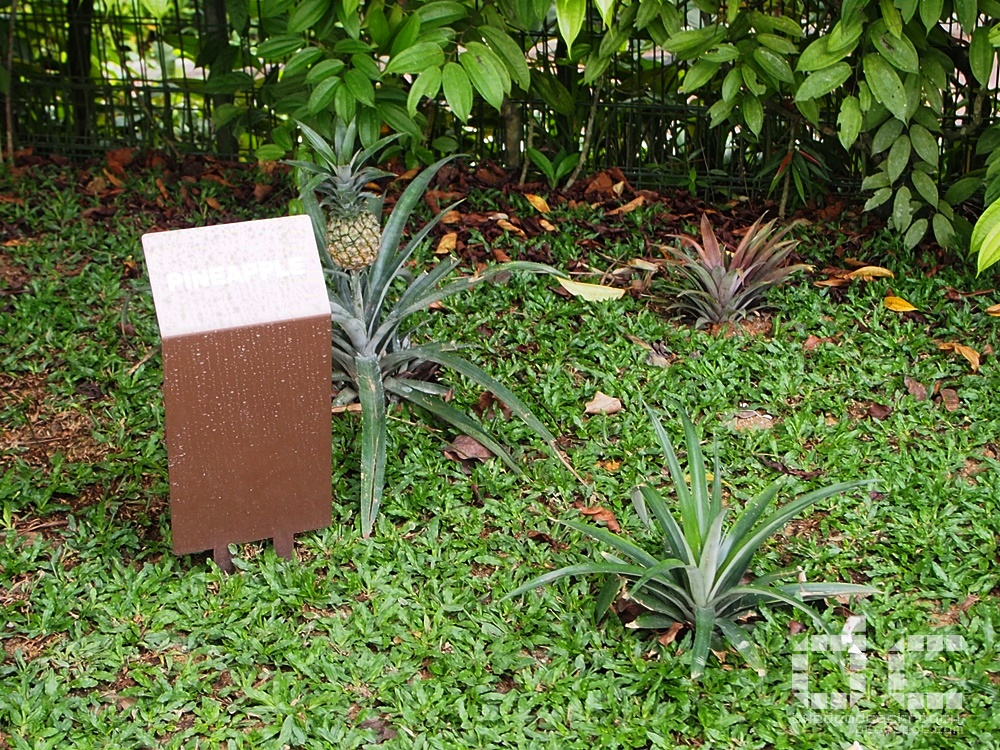 fall of singapore, ford factory, ford motor factory, japanese occupation, museum, old ford factory, second world war, syonan, world war 2, ww2, wwii,syonan gallery,syonan garden,pineapple