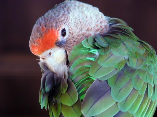 R G Parrott Ltd Cape Parrot (female)  ...