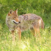 Coyote In Grass