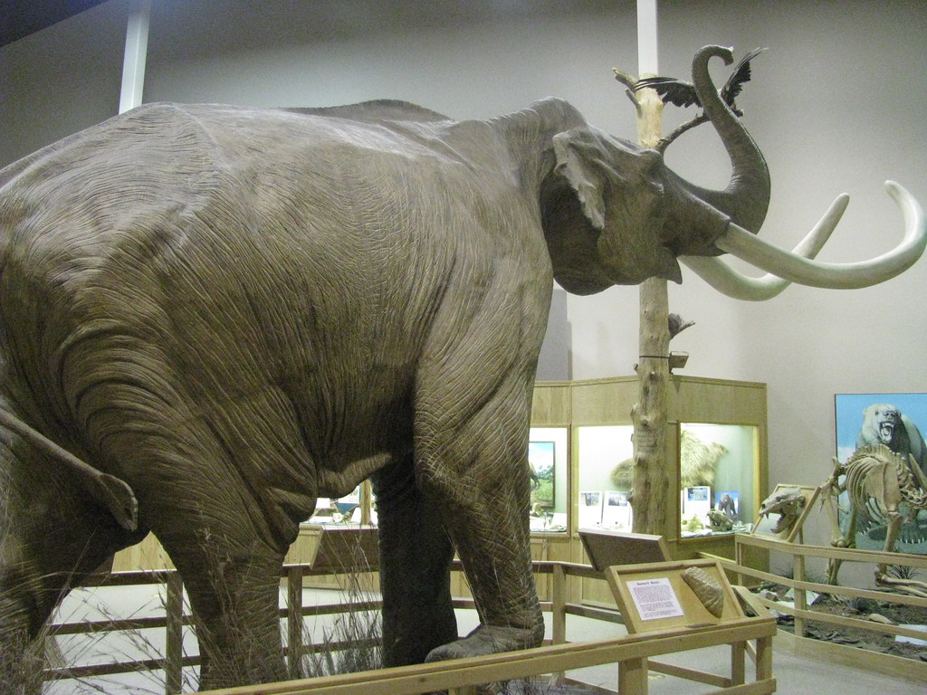 mammuthus columbi  north american columbian mammoth