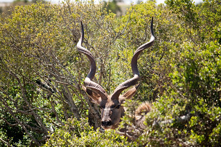 Kudu - Creative Commons 2009 high resolution | by zoutedrop