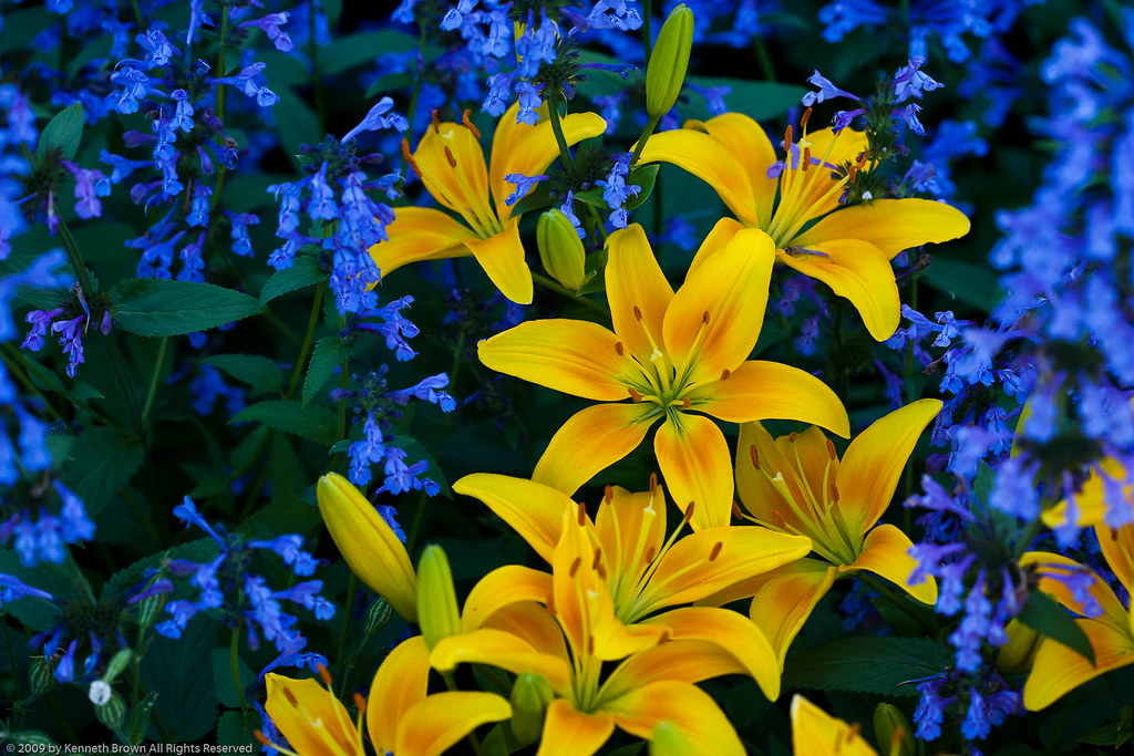 Yellow lily flowers with blue flowers 3863 the contrast flickr yellow lily flowers with blue flowers 3863 by k b photography mightylinksfo