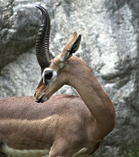 Gerenuk | by Just chaos
