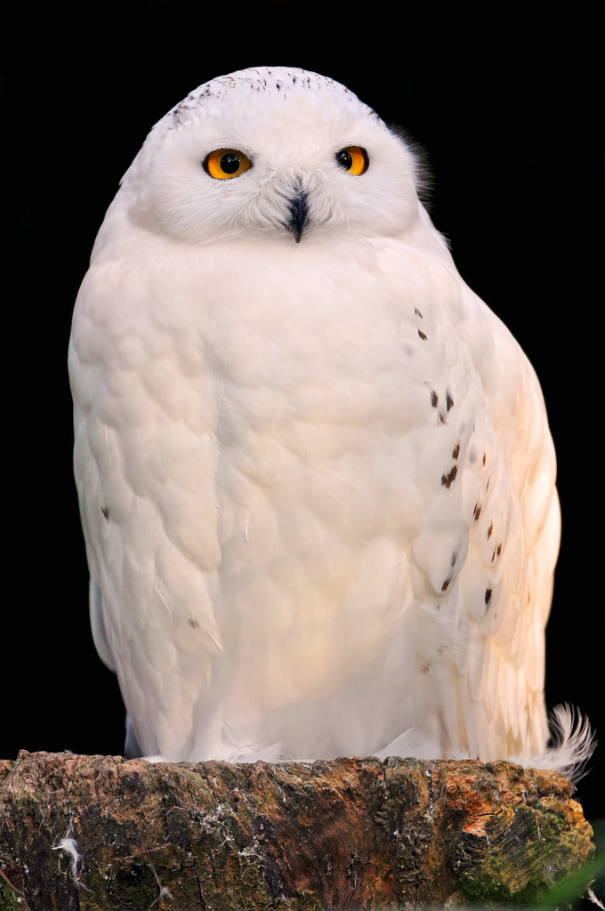 Snowy owl on black | A...