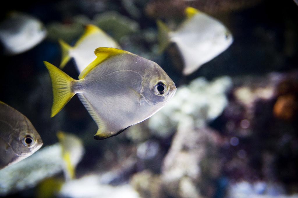 mono monodactylus argenteus aquarium of the pacific long flickr