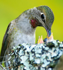 Anna's Hummingbird Feb 17th/10 | by Ted Ardley Photography
