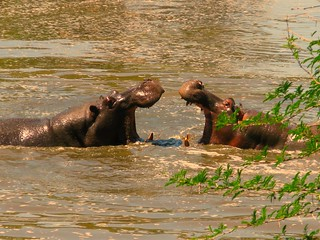 HIPPOS/NTANDANYATHI HIDE/KRUGER PARK SOUTH AFRICA | by THE ENIGMATIC TRAVELER