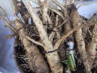 Salsify from Wayward Seed Farm 10/10/09 | by swampkitty