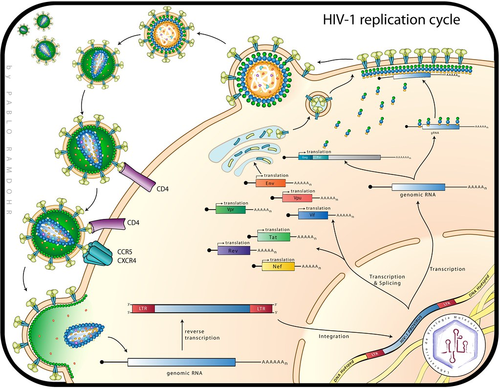Hiv 1 replication cycle an illustration made by myself flickr