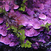Aquarium Closeup of Purple Coralline Algae