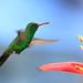 Humming Bird - Canivet's Emerald