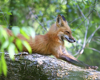 Fox - Animal ID | by g2pix