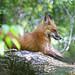 Fox - Animal ID