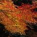 Maple leaves in Mino park, Osaka