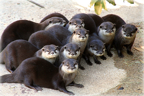how to get a domestic otter