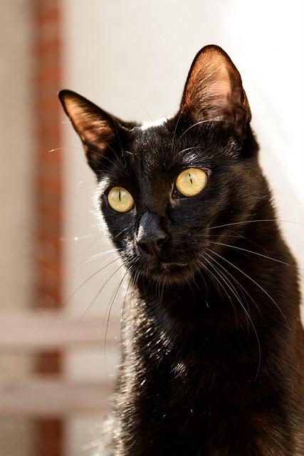 Selva, gatita Pantera guapa, estilizada y divertida esterilizada, nacida en Mayo´16, en adopción. Valencia. ADOPTADA. 32142991404_3157efc743_z