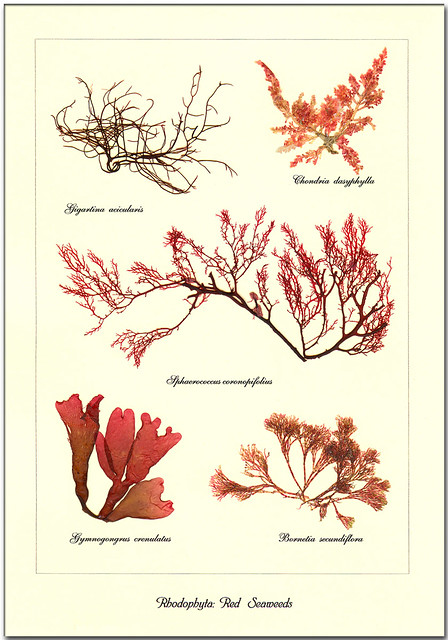 rhodophyta  red seaweeds this seaweed set represents the
