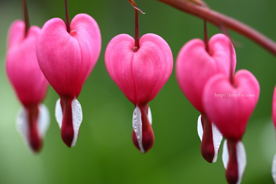 Rose pink and heart shaped flowers - Pics of roses and hearts ...