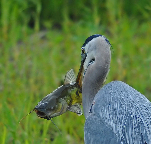 Great Blue Heron | by photosbyjoe