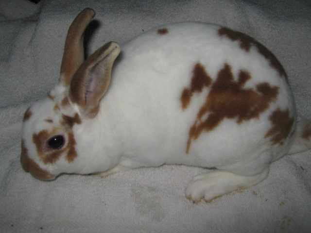 CG RABBITRY | Broken red mini rex rabbit | cindy cole | Flickr