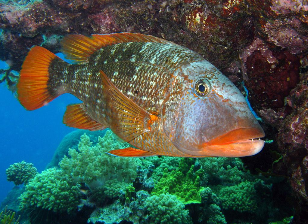 Sweetlip emperor red throat emperor great barrier reef for Great barrier reef fish