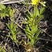 Oenothera perennis SMALL SUNDROPS