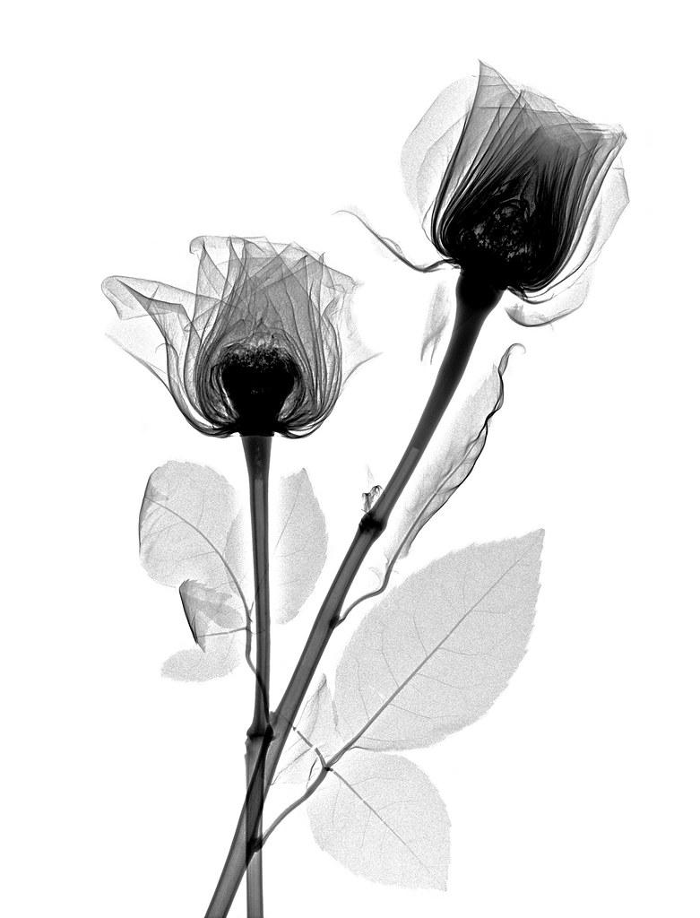 X-ray Roses