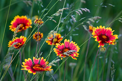 gaillardia | by Ree Drummond / The Pioneer Woman