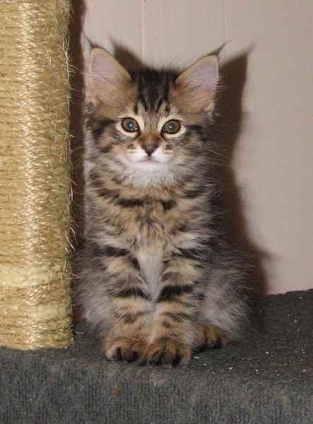 American Bobtail Cat Size