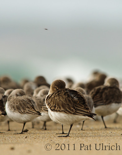 Resting Dunlin | by Pat Ulrich