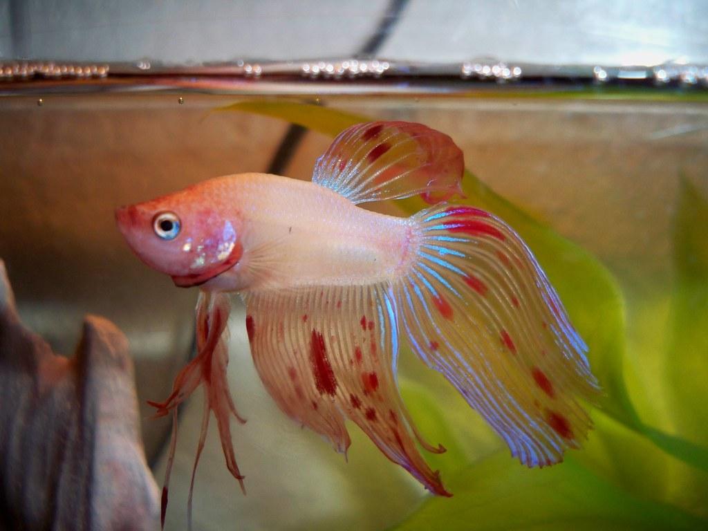 Yellow Betta Fish | ae.sthetic12 | Flickr