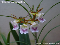 Galeandra lacustris | by - AMAZON ORCHIDS IN FOCUS -