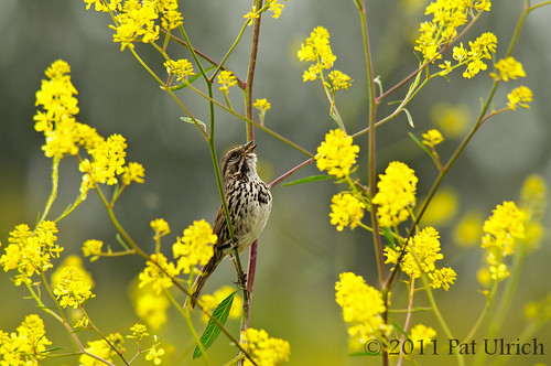 Singing song sparrow in yellow flowers | by Pat Ulrich