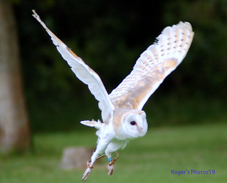 Barn Owl takes off! | by Roger's Photos59