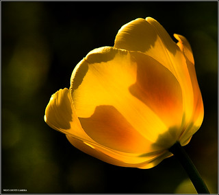 Last of the 2009 Yellow Tulips | by West County Camera