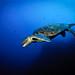 Isla del Coco - Green turtle in the blue