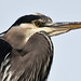 Great Blue Heron (Ardea herodias) close-up crop in Morro Bay, CA