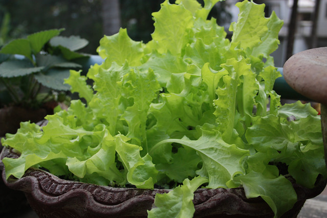 Oak Leaf Lettuce Loose Variety Seeds Kindly Given Flickr