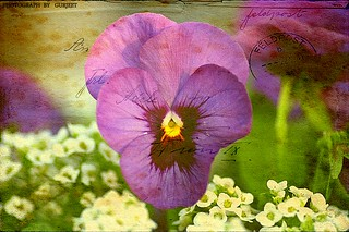 pansy in texture !!!! | by GURJEET.